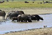 Búfalo — Foto de Stock