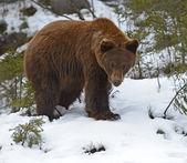 Medvěd hnědý v lese v zimě — Stock fotografie