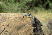 African rainbow lizard — Stock Photo