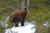 Bruine beer in het bos in de winter — Stockfoto