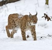 Lynx — Stok fotoğraf