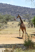 African Giraffes — Stock Photo