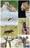 African wild animals  — Stock Photo