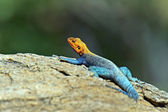 African rainbow lizard — Stock Photo