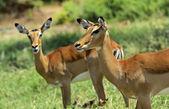 Impala gazelle — Stockfoto