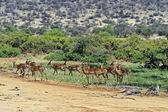 Impala gazelle — Stock fotografie