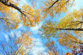 Autumn birches crowns — Stockfoto