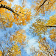 Autumn birches — Stock Photo