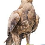 Eagle — Стоковое фото