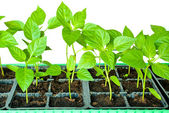 Seedlings peppers — Stock Photo