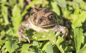 Bufonidae. Toad. — Stock Photo