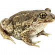 Stock Photo: Toad