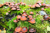 Funghi false. hypholoma. — Foto Stock