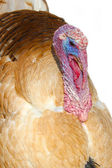 Brown turkey in close-up — Stock Photo