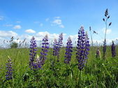 Blue lupine in the meadow — Стоковое фото
