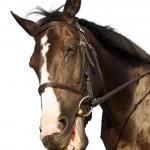 Horse portrait hunny smiling — Stock Photo