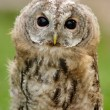 Young  Tawny Owl or Brown Owl — Stock Photo