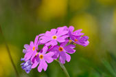 Bird's eye primrose (Primula farinosa) — Stock Photo