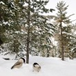 Stock Photo: Two willow tits in snow, very wide angle