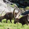 Photo: Males ibex (ibex goat)