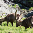 Males ibex (ibex goat) - Stock Photo