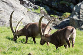 Males ibex (ibex goat) — Photo