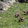 Males ibex (ibex goat) — Stock Photo