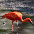 Scarlet Ibis (Eudocimus ruber) — Stock Photo #26239435