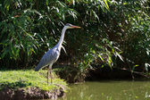 Airone cenerino (Ardea Cinerea) — Stock Photo