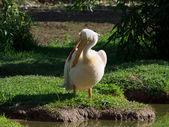 Pelican (Pelacanus Onocratalus) — Stock Photo