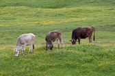 Cows grazing in Prato Piazza — Stock Photo
