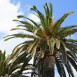 Palms - Finale Ligure — Stock Photo