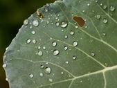 Cabbage leaf — Stock Photo