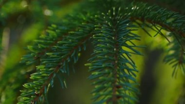 Camera moves through the fir tree thicket. Closeup.