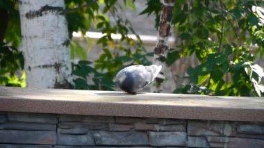 Freedom dove. — Stock Video