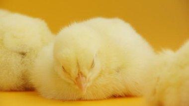 A miúda está dormindo na frente do fundo laranja — Vídeo stock