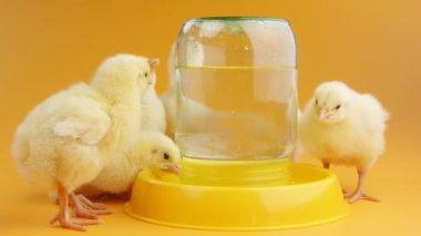 Küçük civciv içme suyu vardır — Stok video