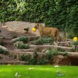 An African lioness in a zoo — Stock Video