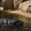 Hippo swim in zoo — Vídeo de stock #27283147