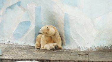 Eisbär — Stockvideo