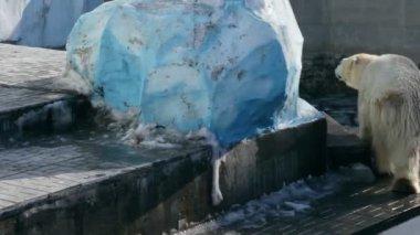 Polar bear in zoo — Stockvideo