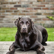 Chocolate Labrador in Garden — Stock Photo