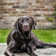 Chocolate Labrador in Garden - Stock Photo