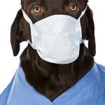 Chocolate Labrador Surgeon — Stock Photo #2217773
