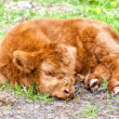 Hairy cow calf — Stock Photo