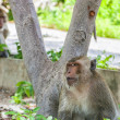 Hua Hin Monkey — Stock Photo