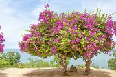 Pink Bougainvillea Tree 3 — Stock Photo