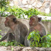 Hua Hin Monkeys — Stockfoto