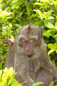 Hua Hin Monkey 11 — Stock Photo