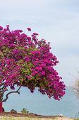 Árvore de buganvílias cor de rosa 2 — Fotografia Stock
